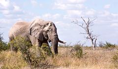 Big Boy on the March _4630-2 (hkoons) Tags: etoshanationalpark etoshapan nationalpark nebrowniiwaterhole southernafrica africa african elephant etasha kunene namibia okaukuejo oshana oshikoto otjozondjupa animal animals beast herbivore horn horns ivory mammal outdoors pachyderm park trunk wild