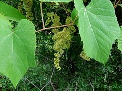 Wild Grape (Picsnapper1212) Tags: wild grape vine bloom cluster fruit blossom plant nature germantown metropark montgomerycounty ohio 2008 leaf stem