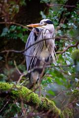 IMG_3090 (Marklucylockett) Tags: 2018 canon7d dartmoor dartmoornationalpark december devon heron marklucylockett river riverdart uk wildlife greyheron