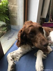 Thu, Jan 3rd, 2019 Lost Male Dog - Patrick's Lane, Wexford (Lost and Found Pets Ireland) Tags: lostdogpatrickslanewexford lost dog patricks lane wexford january 2019