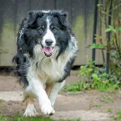 Mon ami! (musette thierry) Tags: chien dog musette thierry d800 noir blanc border