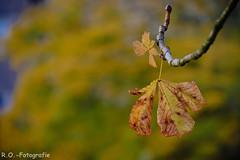 Herbst / Autumn (R.O. - Fotografie) Tags: herbst autumn blätter leaves foliage bokeh natur nature rofotografie closeup close up nahaufnahme panasonic lumix dmcgx8 dmc gx8 mft micro four thirds vario 14140mm outdoor outside nieheim
