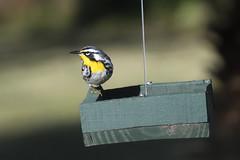 Yellow throated Warbler (M. Coppola) Tags: florida pasco egretglade yellowthroatedwarbler setophagadominica