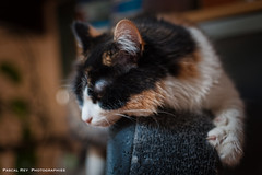 Puis-je récupérer mon fauteuil? (Pascal Rey Photographies) Tags: chat chatte cat katze gato gatto animaux animalerie animals animales animali photographieanimalère pascalrey nikon d700 luminar2018 skylum pascalreyphotographies photographiecontemporaine photos photographie photography photograffik photographienumérique photographiedigitale photographieurbaine photographierurale