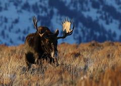 Big Bull Moose (fethers1) Tags: jacksonholewyoming wyoming wyomingwildlife winter snow moose bullmoose