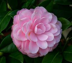 Kamelie (LuckyMeyer) Tags: kamelie blüte blume green rose garden botanical fleur flower