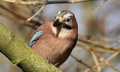 Jay 101218 (10) (Richard Collier - Wildlife and Travel Photography) Tags: birds bird wildlife nature naturalhistory jay