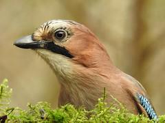 Eurasian Jay (Garrulus glandarius) (eerokiuru) Tags: jay garrulusglandarius eichelhäher pasknäär bird portrait closeup p900 nikoncoolpixp900
