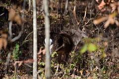 Deer-Fallow Buck_0114e (Porch Dog) Tags: 2018 garywhittington nikond750 nikkor200500mm outdoors wildlife nature landbetweenthelakes betweentheriverskentucky fallow buck stag rack antlers male