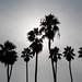 Palm Trees in La Jolla, California