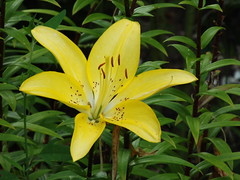 Lilium (SaganSash) Tags: лілія lilium flower summur garden
