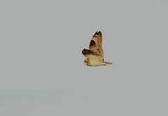 IMG_4514 (monika.carrie) Tags: monikacarrie wildlife scotland forvie shortearedowl seo