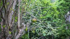 Borubudur (Hans van der Boom) Tags: vacation holiday asia indonesia indonesië java borubudur candi temple stupa buddha buddhist fruit single lonely tree id
