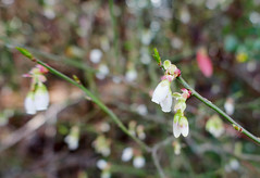 A little touch of Spring (Monceau) Tags: tiny white flower belllike dangling hanging macro bokeh