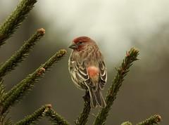 House Finch Male (Trish Overton) Tags: housefinch male bird birds hiddenlake evansville in
