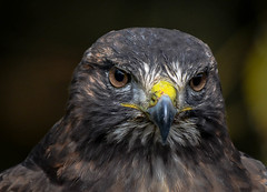 face to face (wesleybarr1962) Tags: hawk redtailedhawk buteojamaicensis sweetfreedom