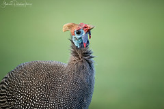 OK! Now you have my attention! (Gabriel Paladino Photography) Tags: numida meleagris helmeted guineafowl gewone tarentaal impangele pintadacomún pintadagris gallinadeguinea bird ave head canon sigma 150600 kirstenbosch botanical garden park nature natural naturaleza wildlife wild salvaje animal pajaro cabeza retrato headshot helmperlhuhn scientific classification chordata galliformes numididae capetown 77d southafrica aves animalia gabrielpaladinoibañez