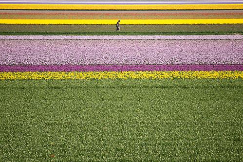 [ tulips ]