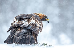 Golden Eagle (Nigey2) Tags: eagle bird raptor birds sweden merse feeding snow cold
