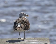 Kelp Gull (PJDphotos) Tags: kelpgull wynnum