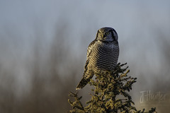 Northern Hawk Owl (J.Hunter Photography) Tags:
