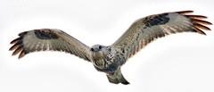 Rough-legged Hawk (richmondbrian) Tags: dncb 201846 boundary bay