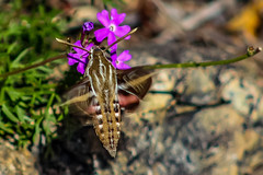 White-lined Sphinx Moth (sgnelson2) Tags: moth desert tucson arizona