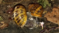 Cuddling in the rain (karinanovak) Tags: snails family love embrace rain slimy shell tiny