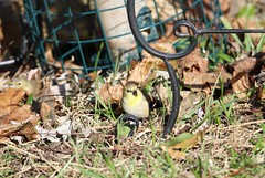 goldfinch foraging (Moon Rhythm) Tags: goldfinch easternshore maryland backyard backyardnature backyardbirds spinustristis 2018 pondfeeder pondgarden