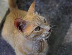 cat's eye (@Katerina Log) Tags: cat pet animal mammal portrait bokeh depthoffield daylight katerinalog flickr sonyilce6500 nature natura eyes