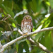 Central American Pygmy Owl (Digital Plume Hunter) Tags: