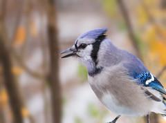 Blue Jay (mahar15) Tags: jay birds outdoors wildlife nature bluejay