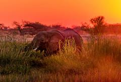 DSC00399 (philliphalper) Tags: namutoni etosha namibia elephant sunset