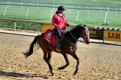 2018-11-03 (19) outrider at Laurel Park (JLeeFleenor) Tags: photos photography md marylandracing maryland marylandhorseracing laurelpark outside outdoors outrider trackpeople horses thoroughbreds equine equestrian cheval cavalo cavallo cavall caballo pferd paard perd hevonen hest hestur cal kon konj beygir capall ceffyl cuddy yarraman faras alogo soos kuda uma pfeerd koin حصان кон 马 häst άλογο סוס घोड़ा 馬 koń лошадь