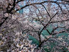 Osaka - Kema Sakuranomiya Park (Noti NaBox) Tags: oska kema sakuranomiya park sakura cherryblossom cherry blossom cerisier fleur lumixg80 printemps spring hanami