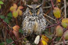Long-eared Owl / Hibou moyen-duc (shimmer5641) Tags: asiootus longearedowl hiboumoyenduc búhochico owl raptor birdsofprey birdsofbritishcolumbia birdsofnorthamerica northernlongearedowl strigidaefamily