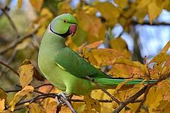 Green and Gold (Eleanor (No multiple invites please)) Tags: parakeet roseringedparakeet male autumnleaves kensingtongardens london nikond7200 november2018 ngc coth5