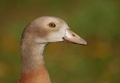 Egyptian goose (PhotoLoonie) Tags: goose duck egyptiangoosejuvenile waterbird bird wildlife nature egyptiangoose