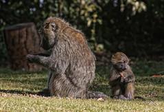 MONKEY BUSINESS (gazza294) Tags: baboon monkeybusiness elsamere africa kenya explore gazza294 garymargetts flicker flickr flckr flkr flickrexplore nationalgeographic nature naturetrek wildlife wildlifemagazine wildlifephotographer wildlifephotography
