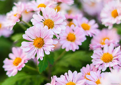 pink crysanthemums with tiny ant (Christine_S.) Tags: kiku canon japan autumn eos m5 ef50mmf18 garden nature きく
