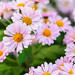 pink crysanthemums with tiny ant (Christine_S.) Tags: kiku canon japan autumn eos m5 ef50mmf18 garden nature きく pink mirrorless