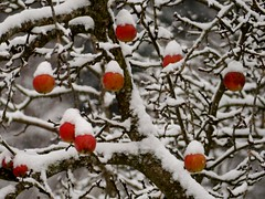 Sahnehäubchen / Cream topping (rudi_valtiner) Tags: apfel apple schnee snow apfelbaum appletree flatz herbst autumn fall niederösterreich loweraustria österreich austria autriche sahnehäubchen creamtopping obershäubchen äste branches ie