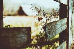 I've tried to ask you this, in some daydreams that i've had but your always busy, being make believe. (Sarah Rausch) Tags: sony 50mm 18 fence broken fencedfriday fencefriday flowers rural