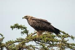 Tawny Eagle (Makgobokgobo) Tags: tawnyeagle eagle raptor bird olaremotorogiconservancy olaremotorogi olare omc masaimara mara kenya africa aquila aquilarapax