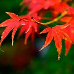 Autumn Leaves of Maple in Kuhonbutsu Joshinji Temple, Setagaya, Tokyo : 紅葉(九品仏浄真寺) thumbnail