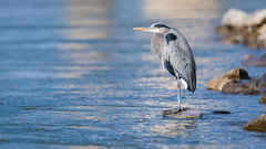 Waiting for a fish to swim by (sniggie) Tags: ardeaherodias ardeidaefamily greatblueheron kentucky bird winter
