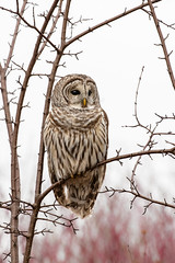 Barred Owl (ayres_leigh) Tags: