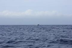 IMG_6883 (avsfan1321) Tags: maui hawaii usa unitedstates unitedstatesofamerica ocean pacificocean breach whale whalewatching humpbackwhale