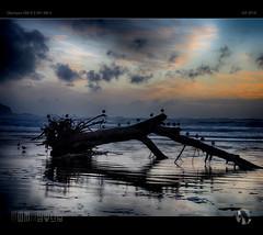 Watching The Surf (tomraven) Tags: seagulls driftwood gulls degull dancinggull tomraven aravenimage tree beach beached surf sand sea sky clouds sunset q42018 olympus em1mk2