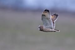 Short Eared Owl (drbut) Tags: shortearedowl asioflammeus birdofprey voles avian wildlife nature canonef600f4lisusm